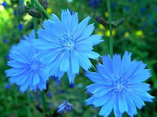 обои Голубое трио фото