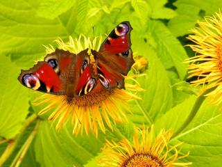 обои Две бабочки на жёлтом цветке фото