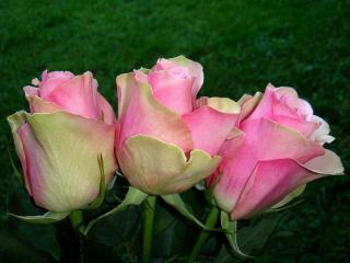 обои Три розы на зелёном фоне фото