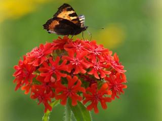 обои Бабочка на красном шарике фото