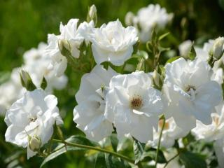 обои Белая нежность роз фото