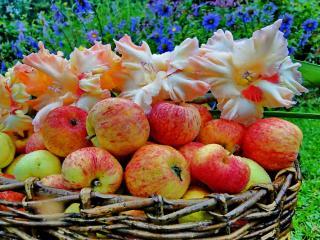 обои Яблочный спас начинают отмечать 19 августа фото