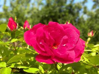 обои Роза в капельках росы фото