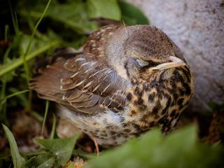 обои Спит воробьишка-птенец фото