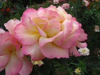 обои Воздушные розы фото