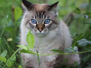 обои Голубоглазый кот Том фото