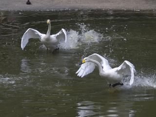 обои Гуси - лебеди фото