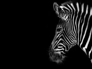 обои Взрослая зебра фото