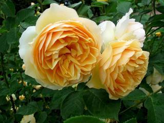 обои Две утренние розы фото