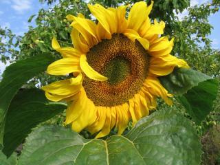обои Днём подсолнух в огороде улыбается погоде фото