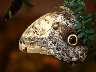 обои Калиго - ночная бабочка фото