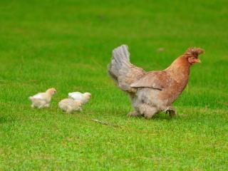 обои Куриный марш фото