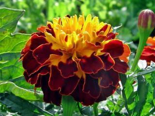 обои Цветок Тага фото