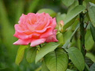 обои Шипы и розы фото