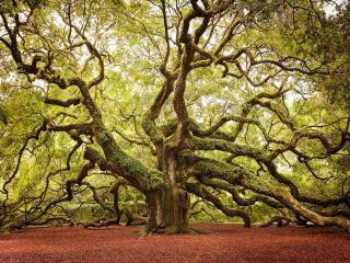 обои Ангельский дуб,   Южная Каролина фото