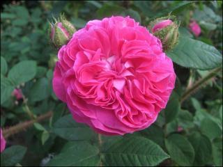 обои Волнистая роза фото