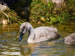 обои Гадкий утёнок - будущий лебедь фото
