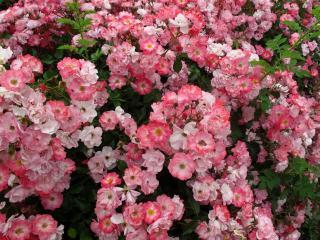 обои Вьющаяся роза фото