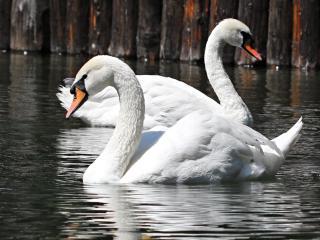 обои Городские лебеди фото