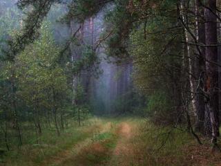 обои Дорога в сосновый бор фото