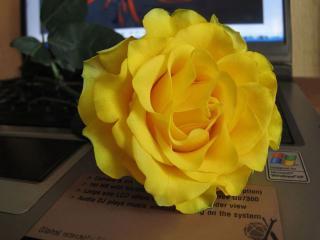 обои Жёлтая роза на ноутбуке фото