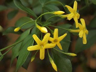 обои Жёлтый жасмин фото