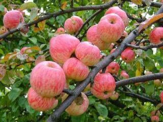 обои Яблочный август фото