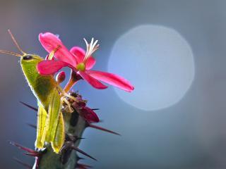обои Кузнечик и красный цветок фото