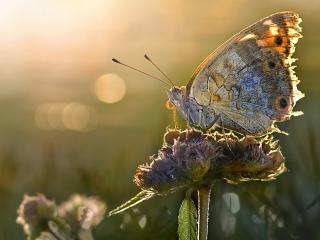 обои Серая бабочка на цветке фото