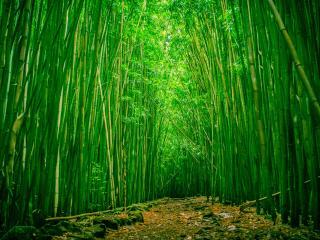 обои Тропа сквозь молодой бамбук фото