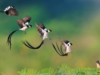 обои Длиннохвостая пятерка приземляется фото