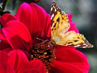 обои Бабочка на красном георгине фото