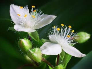 обои Белые цветы с бутоном фото
