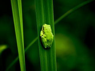 обои Зеленая лягушка на зеленом листе фото