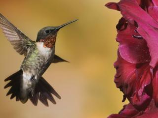 обои Колибри у цветка фото