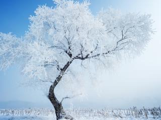 обои Одинокое дерево в зимнем поле фото