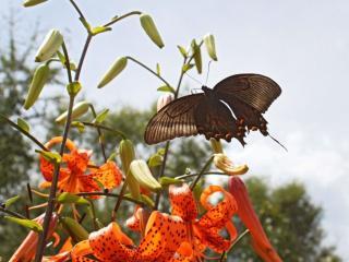 обои Бабочка и лилии фото