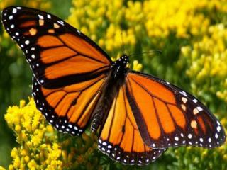 обои Бабочка на жёлтом фото