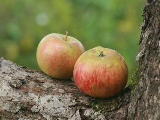 обои Два сентябрьских яблочка фото