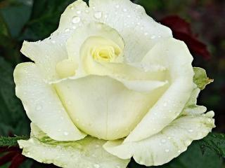 обои Капли белой розы фото