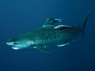 обои Тигровая акула в глубокой синеве моря фото