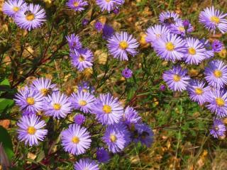 обои Цветы сентября фото