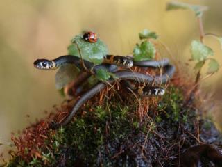 обои Змеи и божья коровка фото