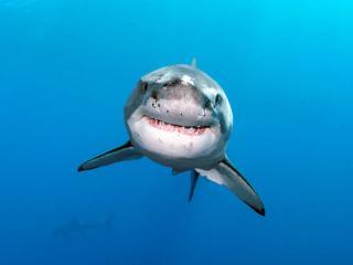 обои для рабочего стола: Зубастая акула