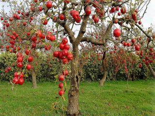 обои Яблочный сад фото