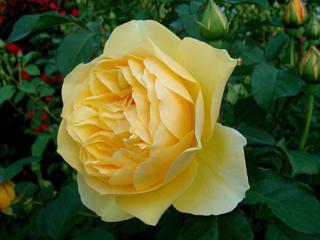 обои Жёлтая роза - крупнолистная фото