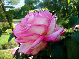обои Колкость и нежность розы фото