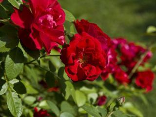 обои Красные садовые розы фото