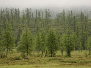обои Лиственный лес. Камчатка фото