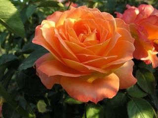 обои Нежность оранжевой розы фото
